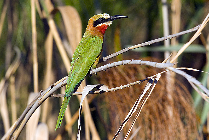 White Fronted Beeater
