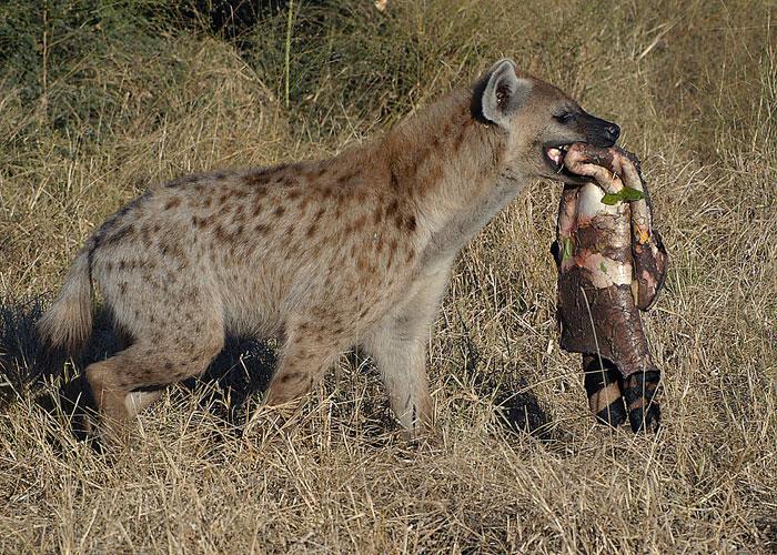 How Often Do Dogs Eat In The Wild