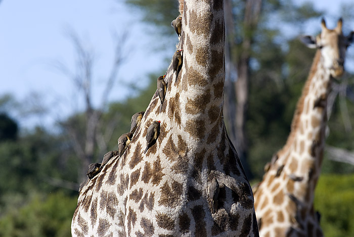 Giraffe and Red Billed Oxpeckers