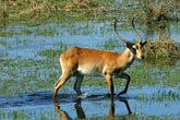 Red Letchwe
