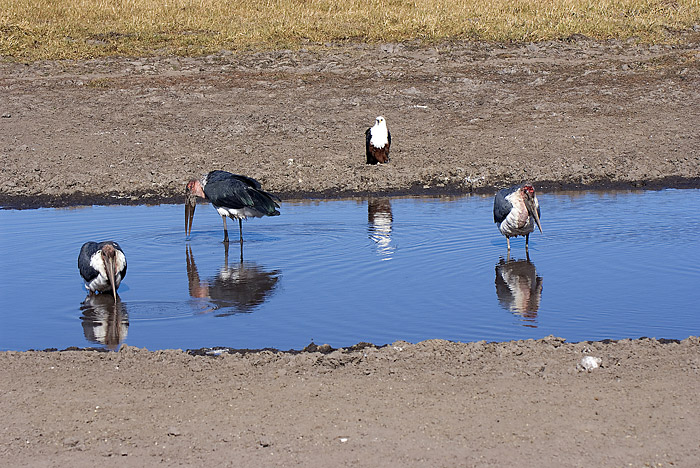 Fish Eagle and Maribou Storks