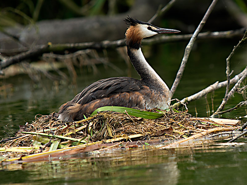 Gt Crested Grebe