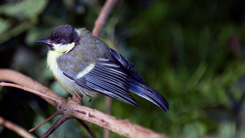 Great tit juv