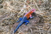 Red Headed Agama Lizard